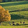 Beef Cattle Grazing In Autumn, North by John Sylvester