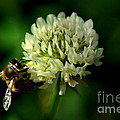 Beeflower2 by David Weeks