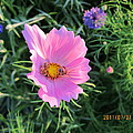 Bees Favorite Flower Two by Tina M Wenger