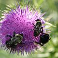 Bees On Thistle by Nina Fosdick