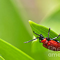 Beetle by Evmeniya Stankova