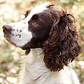Before The Hunt - English Springer Spaniel by Angie Rea