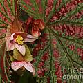 Begonia Brevirimosa by John Zawacki