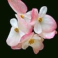 Begonia Flower Gems by Byron Varvarigos
