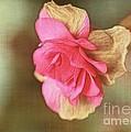 Begonia by Judi Bagwell