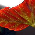Begonia Leaf by C Sitton
