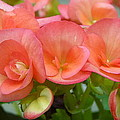 Begonias by Carla Parris