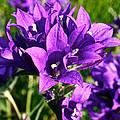 Bell Flowers by Susan Herber