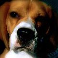 Bella The Beagle by Tanya Stringer