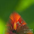 Belladonna Lily Closeup by Heiko Koehrer-Wagner