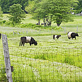 Belted Galloway Cows On  Farm Rockport Maine Photo by Keith Webber Jr