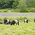 Belted Galloway Cows Pasture Rockport Maine Photograph by Keith Webber Jr