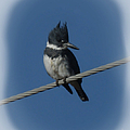 Belted Kingfisher 2 by Ernie Echols