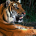 Bengal Tiger - Teeth by Paul W Faust -  Impressions of Light