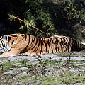 Bengal Tiger by Cliff Norton