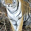 Bengal Tiger In Pench National Park by Axiom Photographic