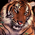 Bengal Tiger In Thought by Paul W Faust -  Impressions of Light