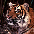 Bengal Tiger Watching Prey by Paul W Faust -  Impressions of Light