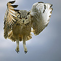 Bengalese Eagle Owl In Flight by Linda Wright