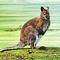 Bennets Wallaby  by Steve Taylor