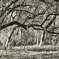 Bent Trees Sepia Toned by Phill Doherty