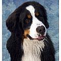 Bernese Mountain Dog 11 by Larry Matthews