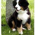 Bernese Mountain Dog 465 by Larry Matthews
