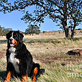 Bernese Mountain Dog In California Chaparral by Gary Whitton