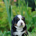 Bernese Mountain Dog Puppy Portrait by Waldek Dabrowski