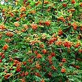 Berries In Profusion by Will Borden