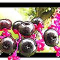 Berry Burst   Poke Berries by Debbie Portwood