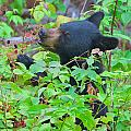 Berry Eating Bear by Dale J Martin