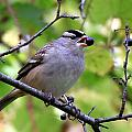 Berry Hungry Bird by Don Downer