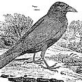 Bewick: Raven by Granger