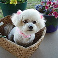 Bichon In A Basket by Fran Loando
