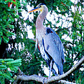 Big Bird - Great Blue Heron by Tap On Photo