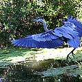 Big Blue In Flight by Diana Haronis