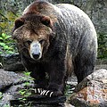 Big Brown Bear by Living Color Photography Lorraine Lynch
