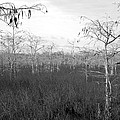 Big Cypress Winter by David Lee Thompson