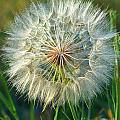 Big Dandelion Seed by Randy Harris