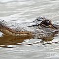 Big Eyes Baby Gator by Carol Groenen