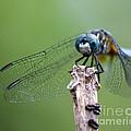 Big Eyes Blue Dragonfly by Sabrina L Ryan