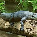 Big Gator On A Log by Myrna Bradshaw