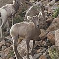 Big Horn Lambs by Nathan Mccreery