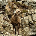 Big Horn On The Rocks by Adam Jewell