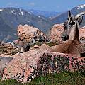 Big Horn Sheep by Diane Jensen
