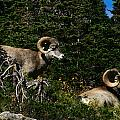 Big Horn Sheep Glacier National Park by Benjamin Dahl