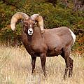 Big Horn Sheep by Jill Battaglia