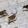 Big Mule Deer Buck by Earl Nelson