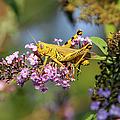 Big Yellow Grasshopper by Ericamaxine Price